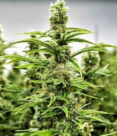 """El Gobierno buscará legalizar la marihuana: el millonario gasto para """"cazar perejiles"""""""