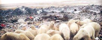 Osos polares hambrientos revuelven la basura en busca de comida en una remota región de Rusia