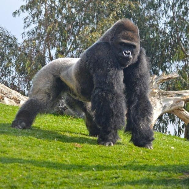alt title gorila