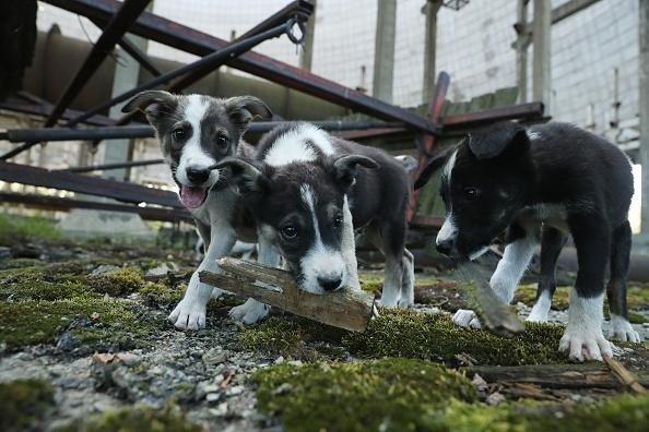 Los perros callejeros proliferan en Chernobyl.