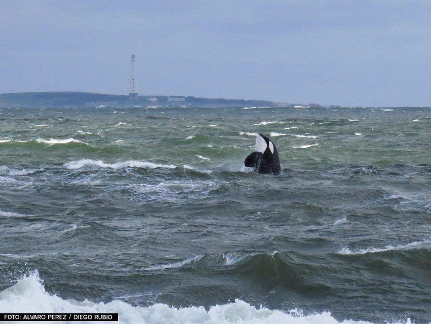 La orca fue vista a escasos 100 metros de la orilla, entre las playas Posta del Cangrejo y la muy top Montoya.