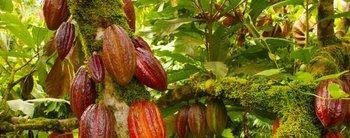 Temor mundial: ¿está en peligro de extinción el chocolate?