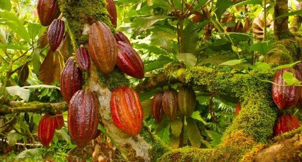 alt title cacao